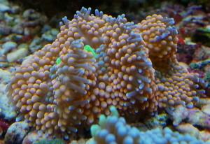Plankton, Phytoplankton, Meerwasser, Korallen, Zucht